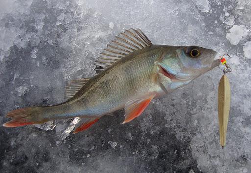 Блесна для зимней рыбалки по форме отличаются от блесен для летней